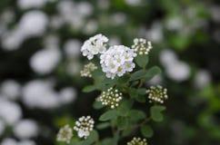 Cespuglio di fioritura della lantana Fiori bianchi Macro fotografie stock