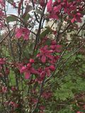 Cespuglio di fioritura rosa Fotografie Stock Libere da Diritti