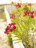 Cespuglio di fioritura rosso del oleander. Immagine Stock Libera da Diritti