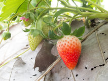Cespuglio di fragola che cresce nel giardino immagini stock