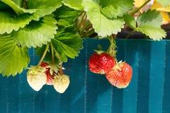 Cespuglio di fragola con le bacche mature nel giardino immagine stock