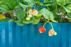 Cespuglio di fragola con le bacche mature nel giardino immagine stock libera da diritti
