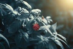 Cespuglio di lampone come fondo astratto creativo della pianta, delle foglie verdi come carta da parati per progettazione, blu sc immagine stock