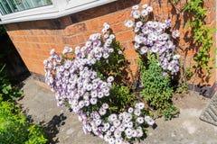 Cespuglio di margherita rosa alla parte anteriore di una casa in Inghilterra Fotografia Stock