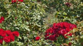 Cespuglio di rosa rossa con le foglie verdi brillanti Ampia vista Immagini Stock Libere da Diritti