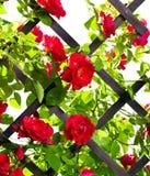 Cespuglio di rosa rosso fotografia stock libera da diritti