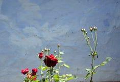 Cespuglio di rose Fotografia Stock Libera da Diritti