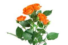 Cespuglio di rose arancio dell'arbusto isolato su bianco Fotografia Stock Libera da Diritti
