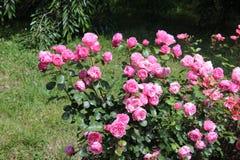Cespuglio di rose, belle rose rosa in un giardino Immagini Stock Libere da Diritti