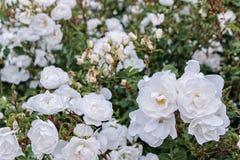 Cespuglio di rose bianco in giardino immagini stock libere da diritti