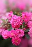 Cespuglio di rose rosa con il fondo di pendenza fotografie stock libere da diritti