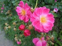 Cespuglio di rose selvaggio rosa nel giardino di estate Immagine Stock Libera da Diritti