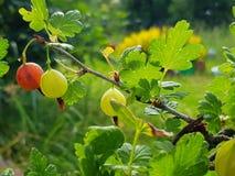 Cespuglio di uva spina dell'arbusto con i frutti fotografia stock libera da diritti