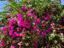Cespuglio enorme dei fiori bianchi e rosa della buganvillea fotografie stock libere da diritti