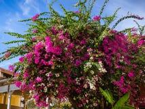 Cespuglio enorme dei fiori bianchi e rosa della buganvillea fotografia stock