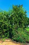Cespuglio gigante radiante ad un cielo blu fotografie stock libere da diritti