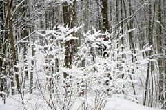 Cespuglio innevato nella foresta Immagine Stock