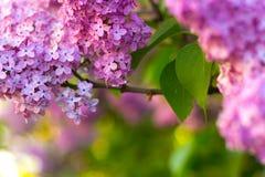 Cespuglio lilla in fiore Fotografie Stock Libere da Diritti