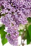 Cespuglio lilla in primavera fotografia stock libera da diritti