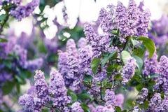Cespuglio lilla viola di fioritura a tempo di molla con luce solare Sbocciare fiori lilla porpora e viola Stagione primaverile, n fotografia stock libera da diritti