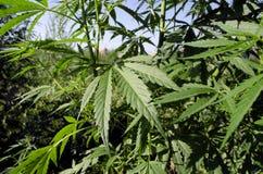 Cespuglio luminoso di una cannabis Fotografie Stock