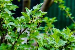 Cespuglio luminoso verde dell'uva spina fotografia stock libera da diritti