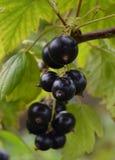 Cespuglio maturo l dell'alimento della bacca del ribes nero del mazzo della macro del giardino di estate del ribes nero natura sa Fotografia Stock