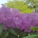 Cespuglio porpora del fiore Fotografie Stock Libere da Diritti