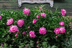 cespuglio rosa che cresce nel giardino, vecchia casa rurale della peonia nei precedenti immagini stock libere da diritti