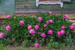 cespuglio rosa che cresce nel giardino, vecchia casa rurale della peonia nei precedenti fotografia stock