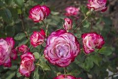 Cespuglio rosa molto bello dei fiori con i colori insoliti Fotografie Stock