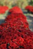 Cespuglio rosso del crisantemo Fotografia Stock