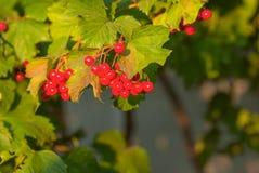Cespuglio rosso maturo di viburno con le foglie verdi Fotografie Stock