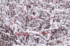 Cespuglio rosso in neve bianca nell'inverno fotografia stock