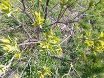 Cespuglio sbocciante verde nel giorno di primavera Immagine Stock