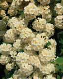 Cespuglio selvaggio dei fiori bianchi con le foglie verdi illustrazione di stock