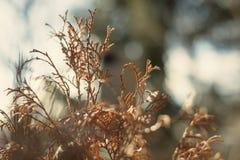 Cespuglio tinto еwigs sulla luce solare immagine stock