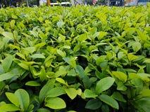 Cespuglio verde Immagini Stock