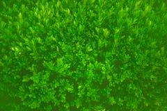 Cespuglio verde Fotografia Stock Libera da Diritti