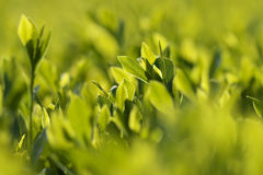 Cespuglio verde Fotografie Stock