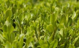 Cespuglio verde Immagini Stock Libere da Diritti
