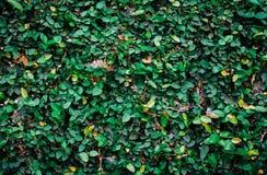 Cespuglio verde Immagine Stock Libera da Diritti