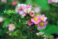 Cespuglio verde che fiorisce con i piccoli fiori dentellare Fotografie Stock Libere da Diritti