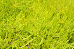 Cespuglio verde chiaro Fotografie Stock