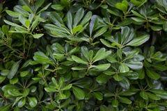 Cespuglio verde con alloro Fotografia Stock Libera da Diritti