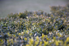 Cespuglio verde con i lotti di piccole foglie Immagine Stock