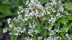 Cespuglio verde con i piccoli fiori bianchi archivi video