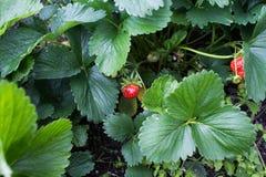 Cespuglio verde con le fragole rosse Immagini Stock