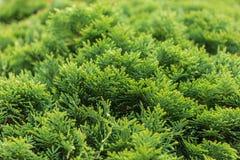 Cespuglio verde del thuja Fotografia Stock Libera da Diritti