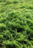 Cespuglio verde del thuja Immagini Stock